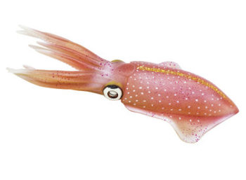 reef squid model