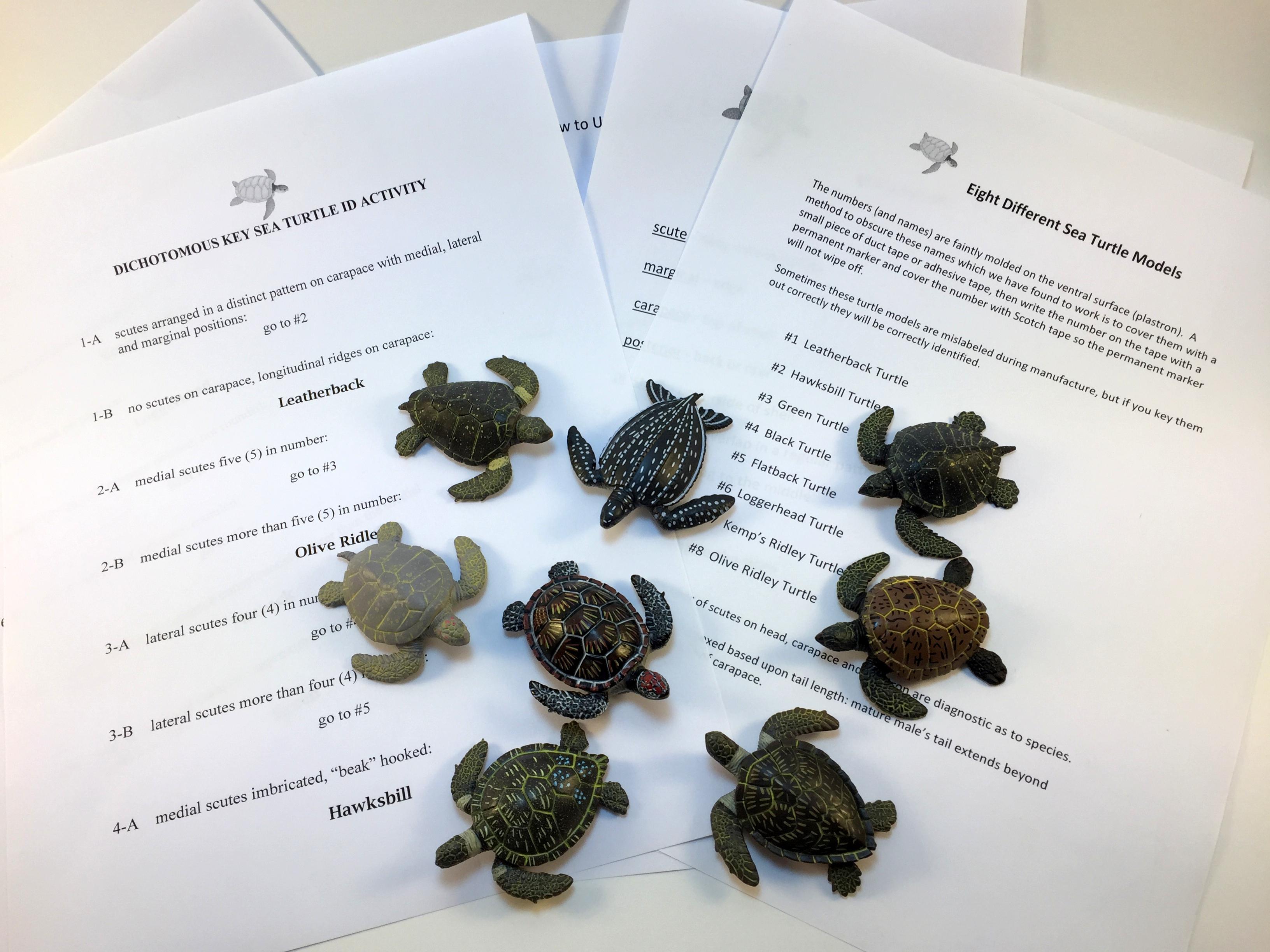 Sea Turtle Dichotomous Key Activity